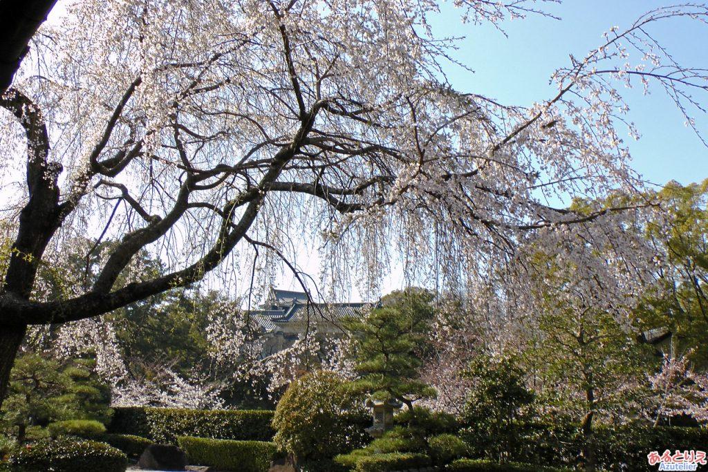 満開の時のしだれ桜