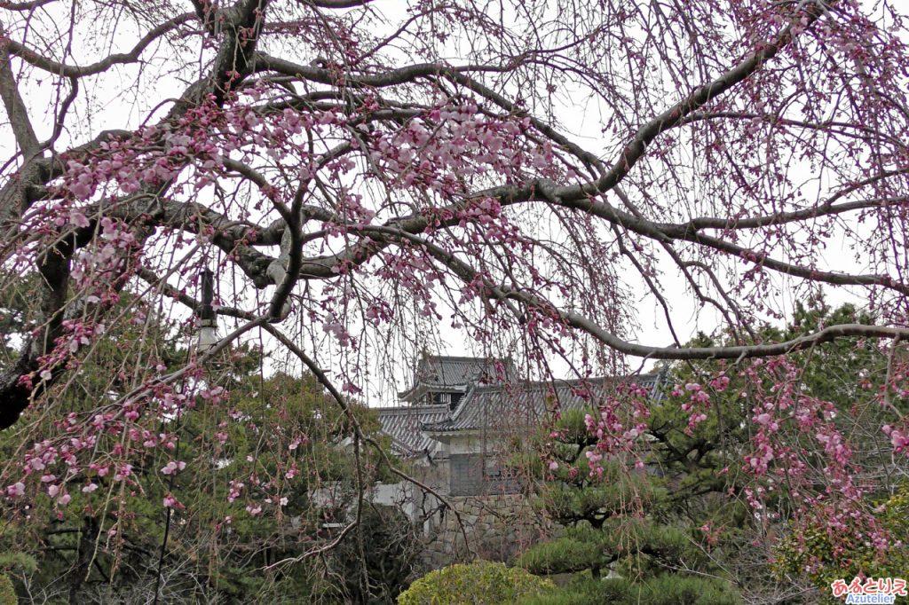 城南亭のしだれ桜、咲いていますね。