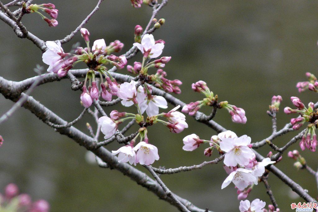 一番咲きの桜