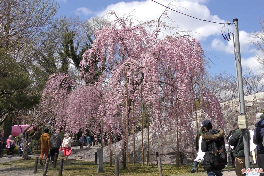 松平元康騎馬像裏のしだれ桜