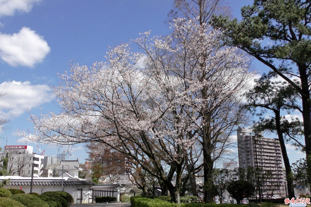 桜(ソメイヨシノではないです)