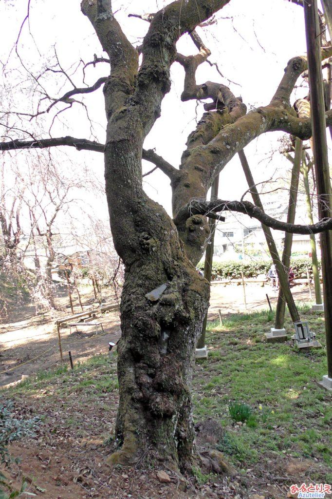 樹齢1300年の根っこ
