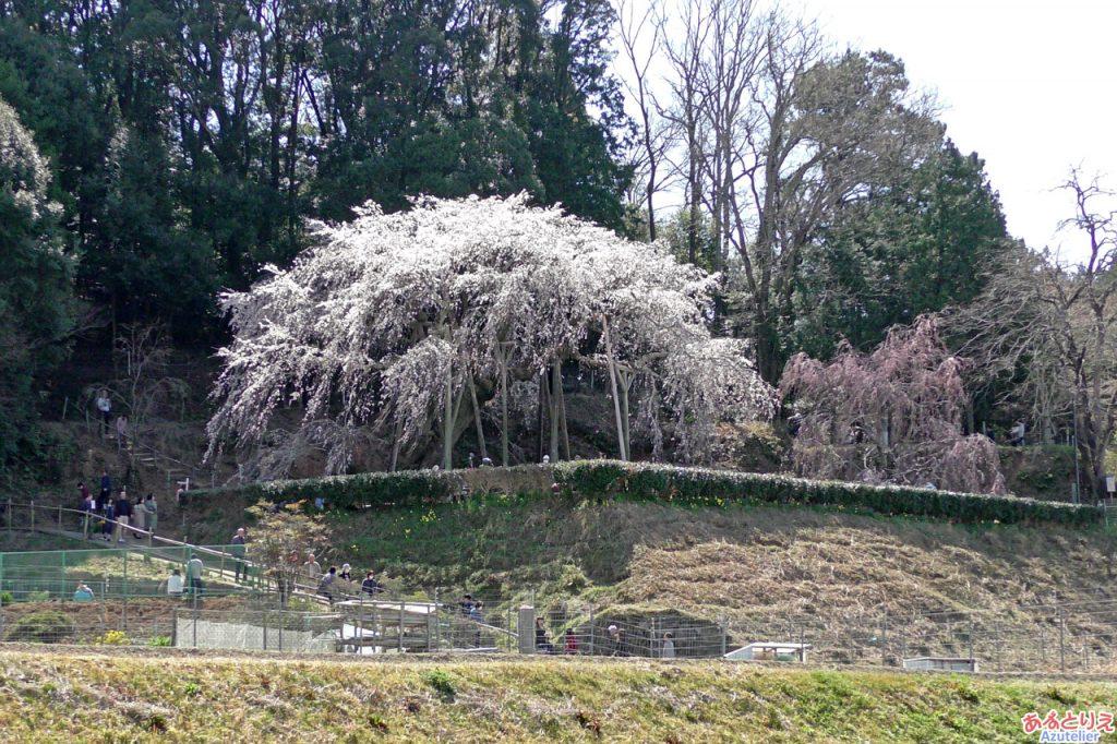 桜の形が一番きれいに見れるスポットより