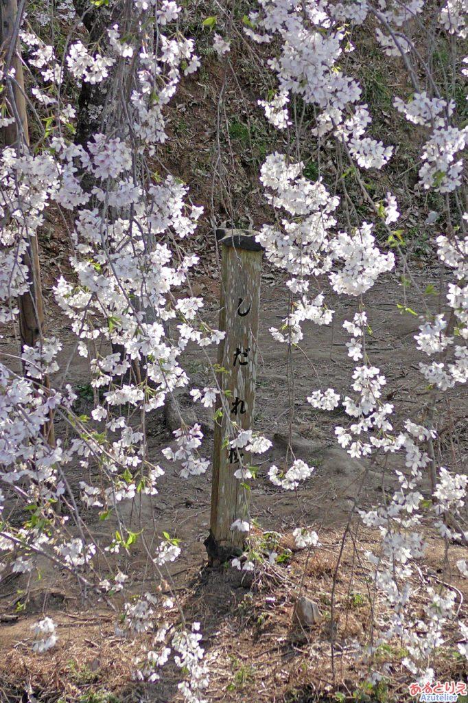 若木のしだれ桜