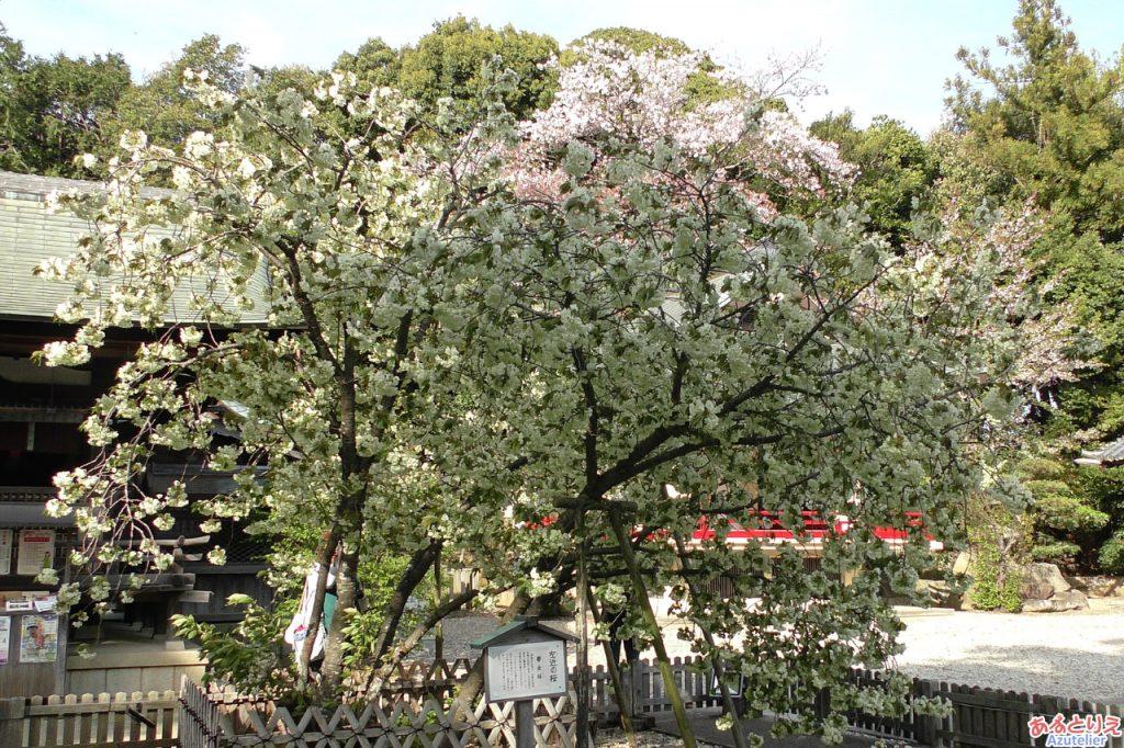 うこん桜は「咲き始め」です。