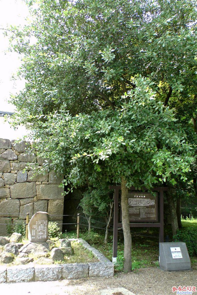 岡崎公園:アラモの碑のどんぐりの木