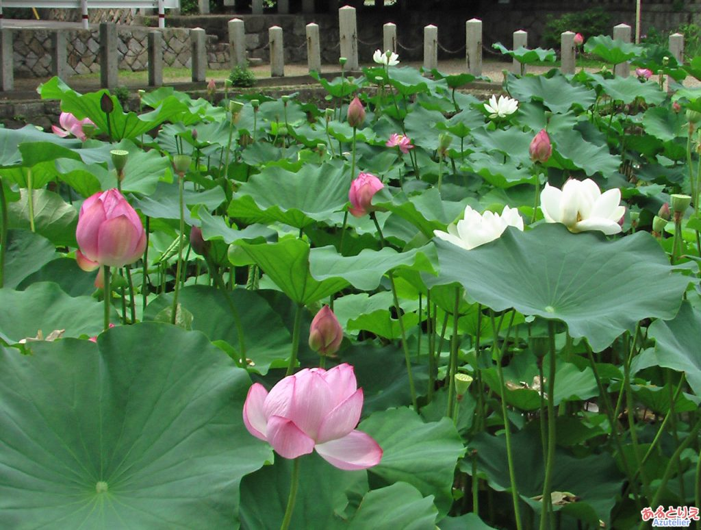 蓮池のハス