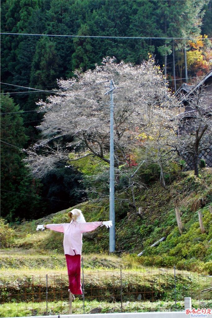 桜とかかし
