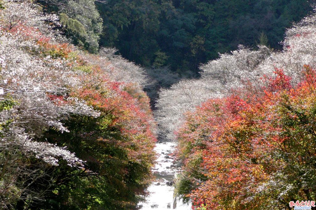 田代川の川岸を挟む桜と紅葉