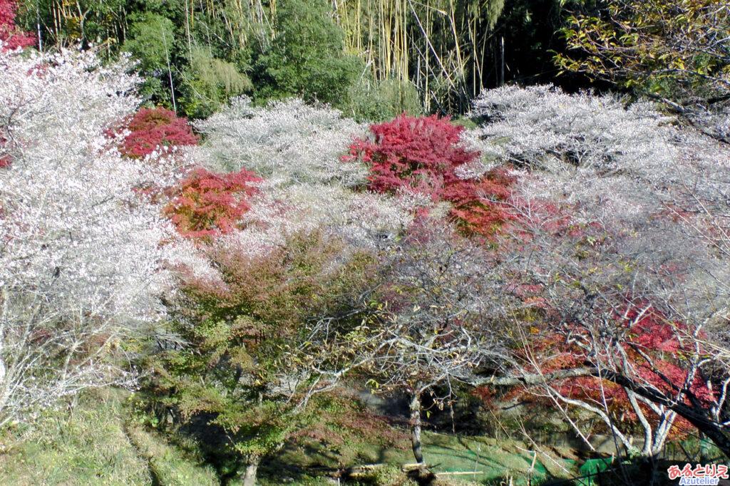 対岸の桜と紅葉