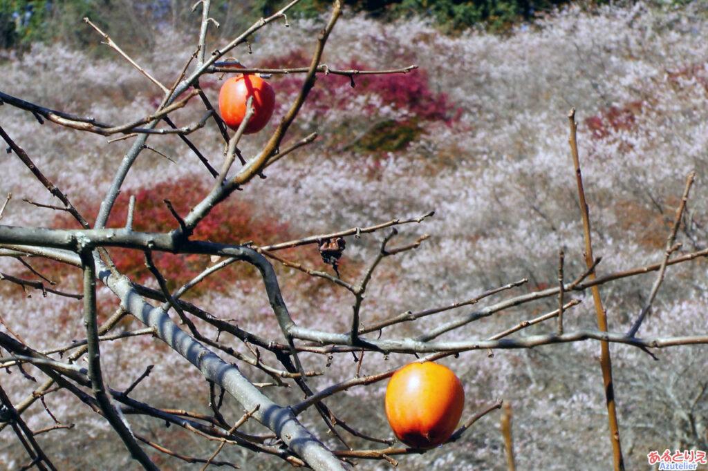 柿と桜と紅葉