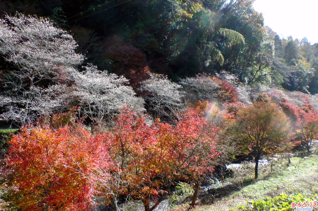 四季桜と紅葉の並木