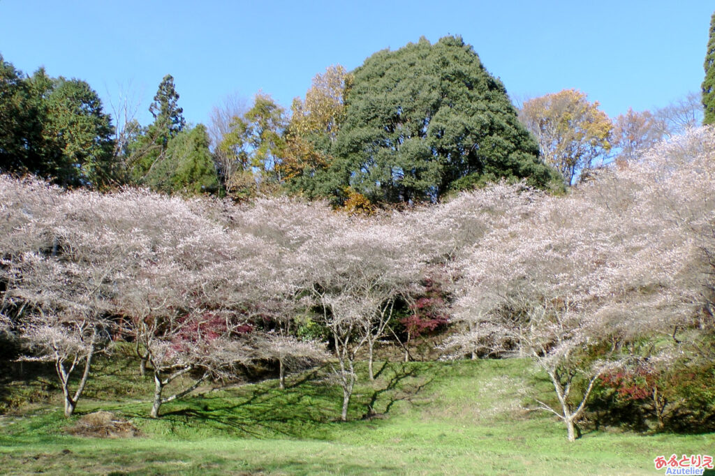 四季桜スポット(A)