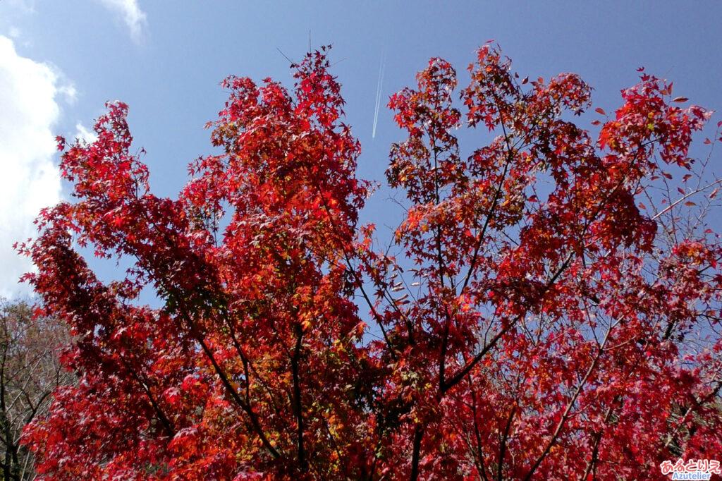 紅葉と飛行機雲