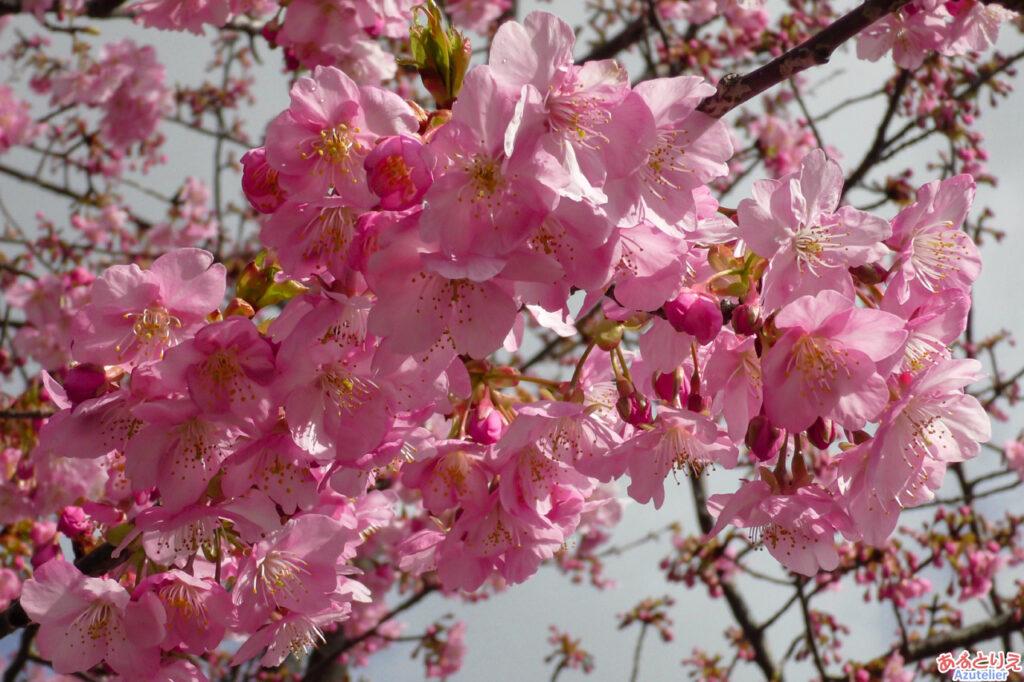 葵桜(アップ)