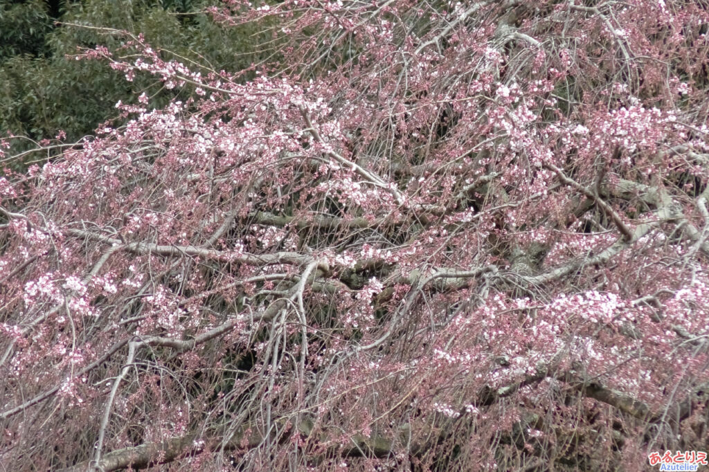 しだれ桜(アップ)