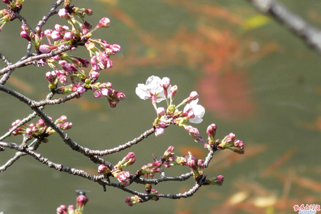 2020年、一番咲きの桜