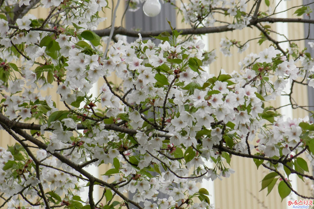乙川左岸の方が咲いています