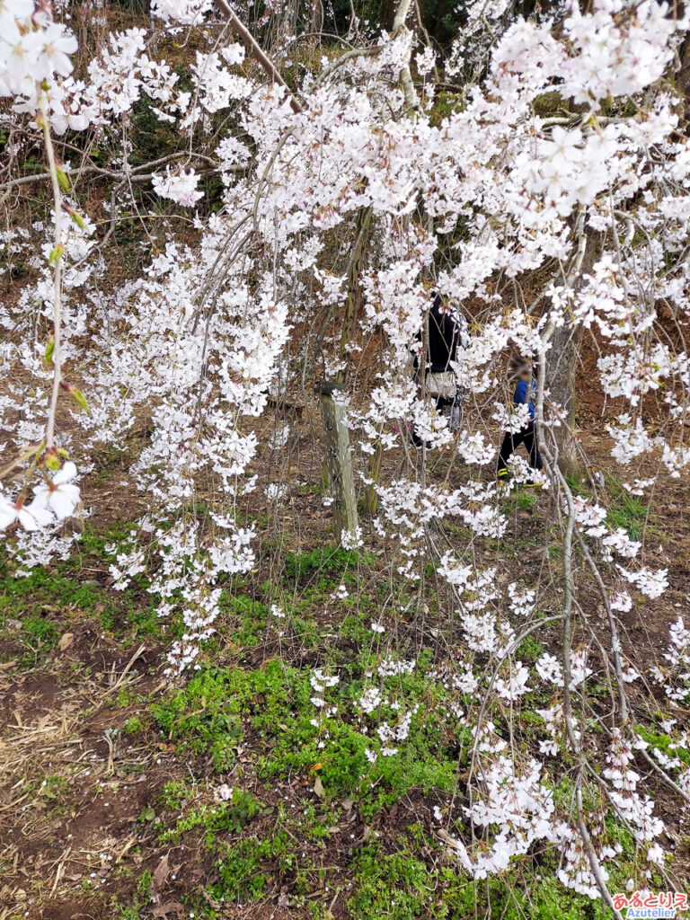 奥山田のしだれ桜(若木):花アップ