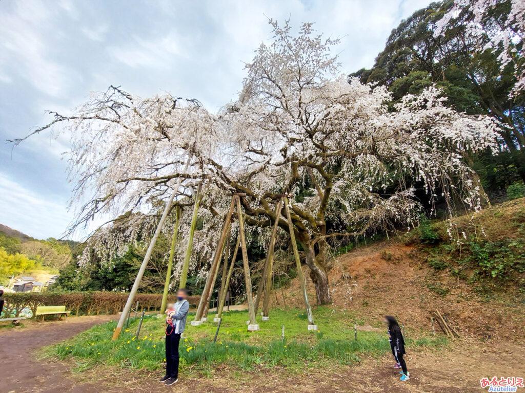 奥山田のしだれ桜:全体