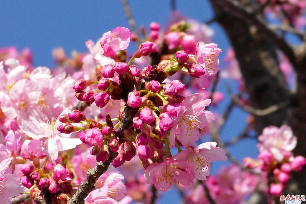 東側の桜は、まだまだつぼみです