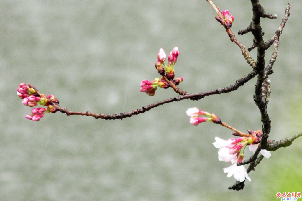 岡崎公園の桜開花(2021年3月13日)