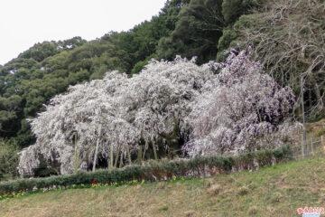 奥山田のしだれ桜:遠景