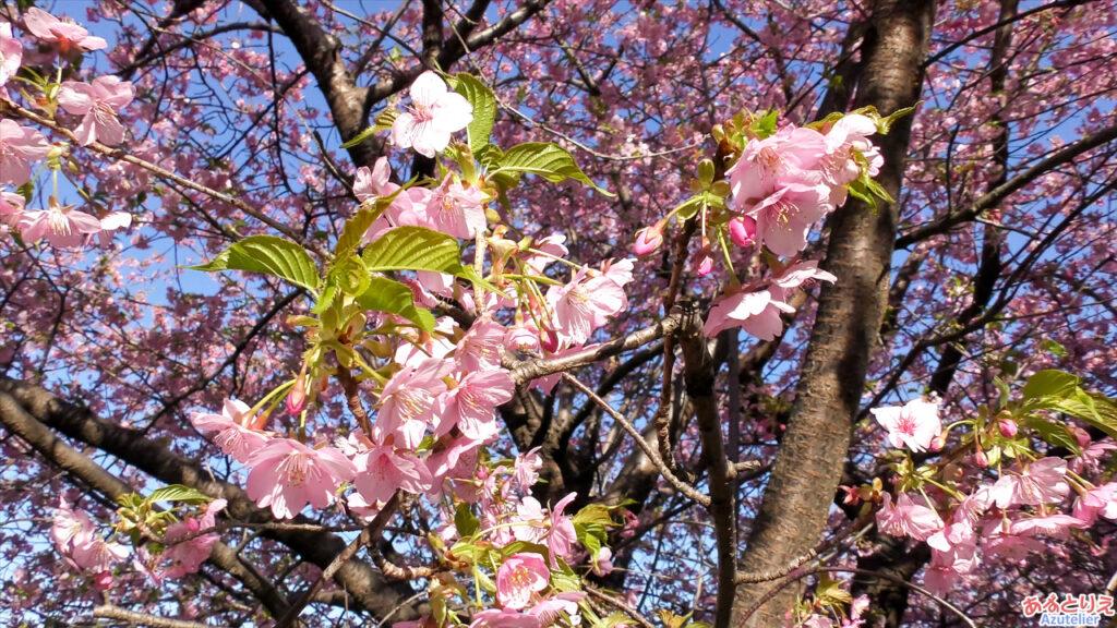 西側の桜は、もう葉っぱもかなり出てきています