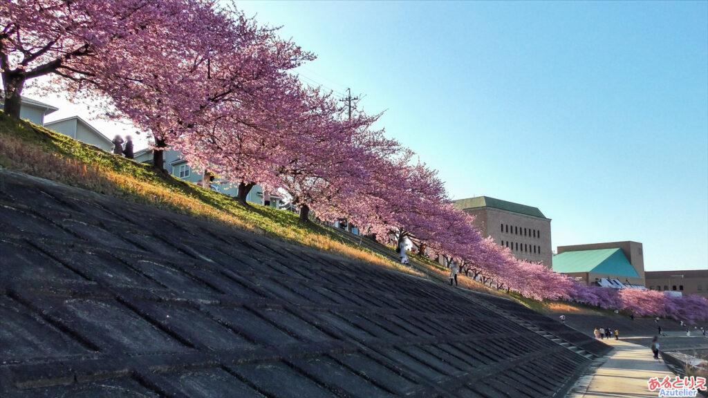 堤防下から桜並木を眺める