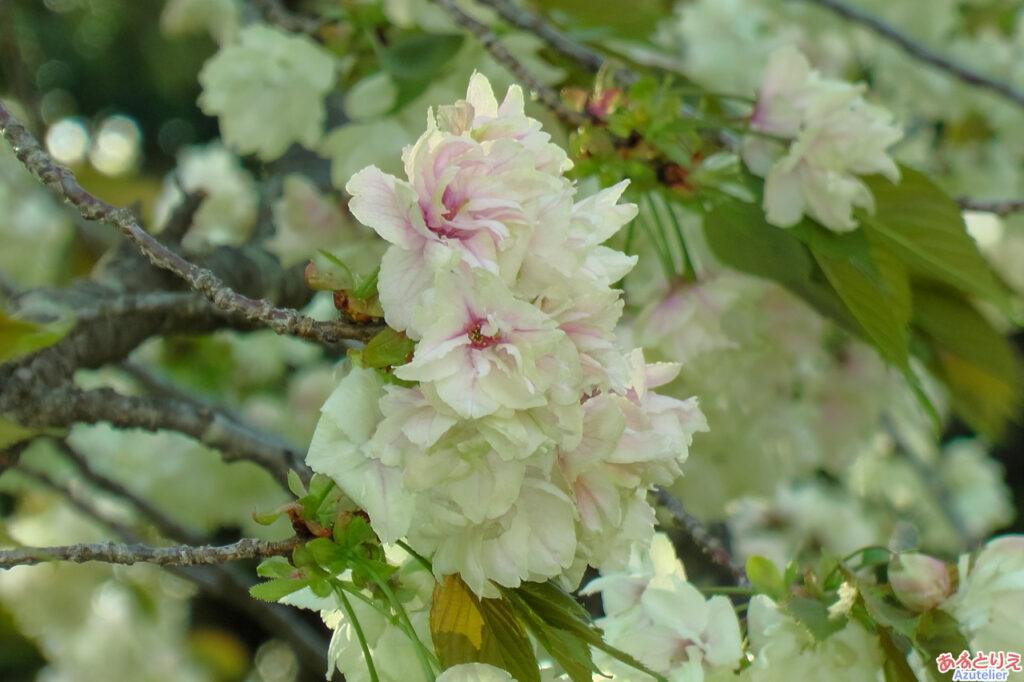 咲き中アップ